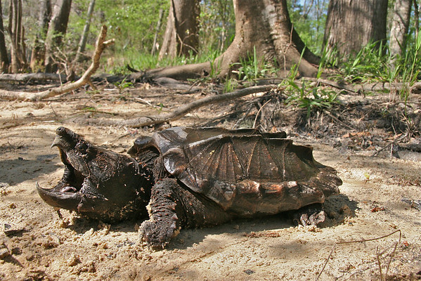 Snapping Turtles (Chelydridae)