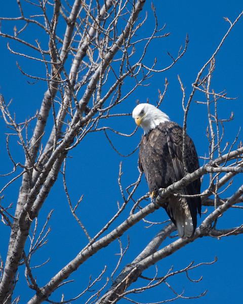 Bald Eagle 2536