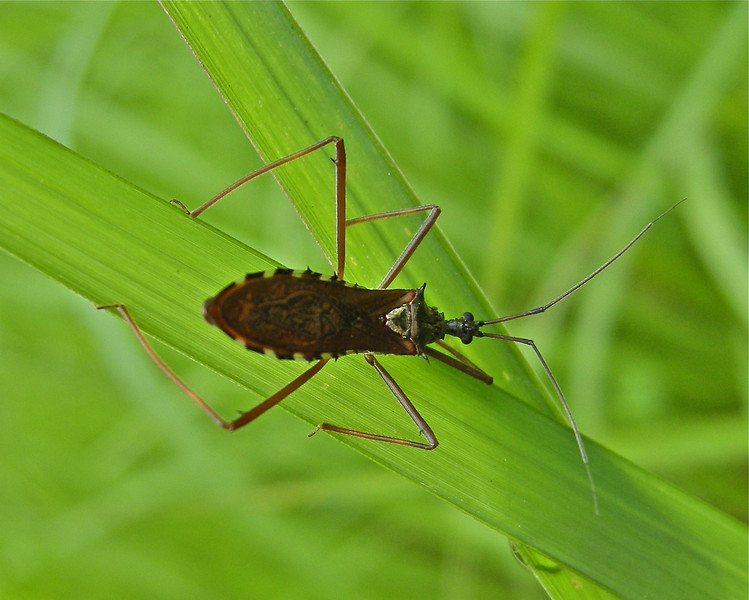 Box Bug, Vietnam