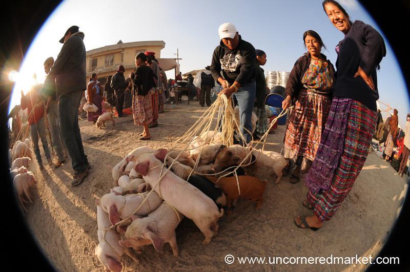 San Francisco El Alto Animal Market, Pigs Fisheye- Guatemala