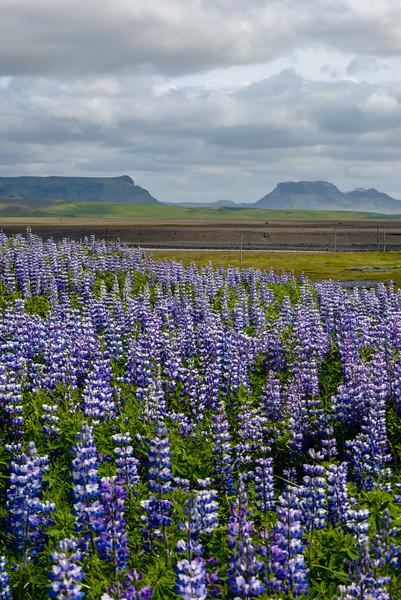 ICELAND-LUPINES & VOLCANO-65.jpg