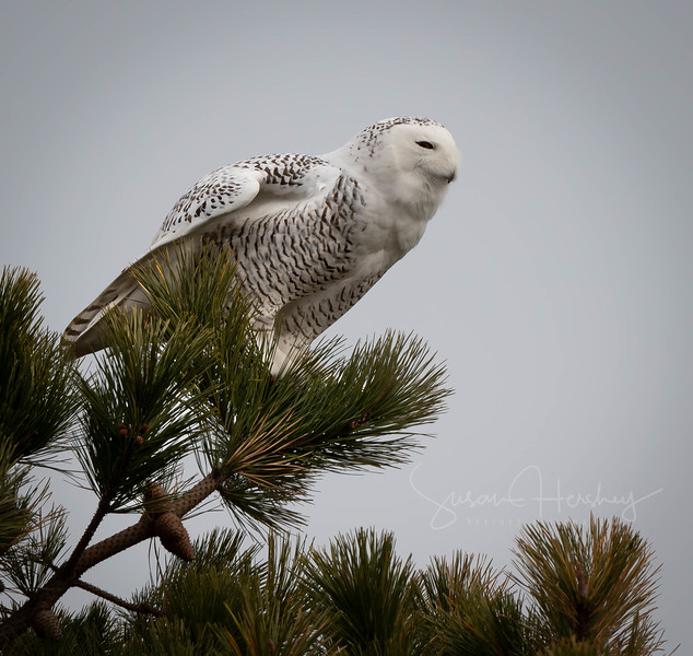 Snowy Owl looking
