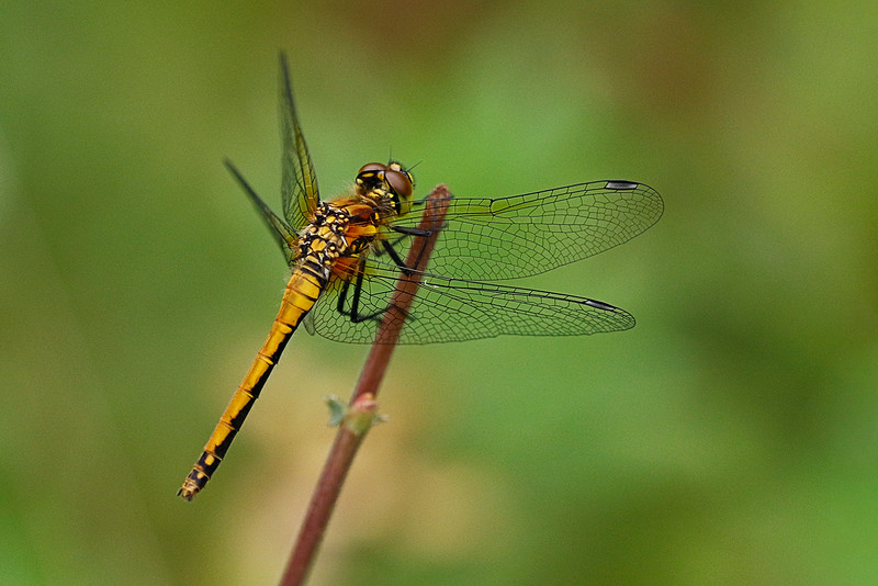 Common Darter 1608256777.jpg