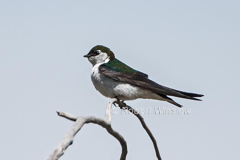 Violet-green Swallow, Tachycineta thalassina, La Plata County, Colorado, USA, North America