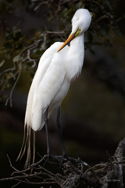 Great Egret shy but sexy-.jpg
