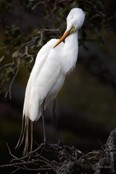 Great Egret shy but sexy-.jpg