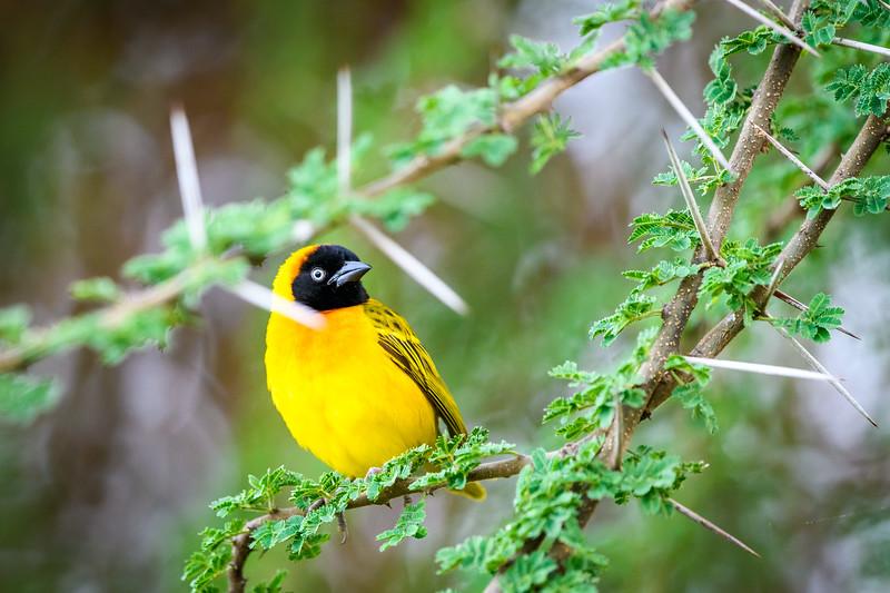 Weaver birds.jpg