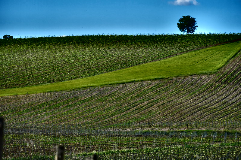 Single Tree Castellina Chianti 2.JPG