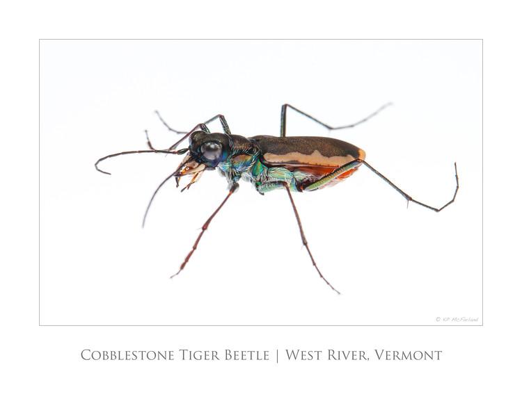 Cobblestone Tiger Beetle 20x16 poster.jpg