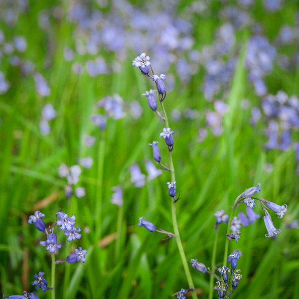 Bluebells in Clara Value nature reserve