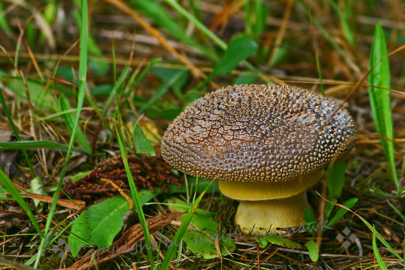 Mushroom in the Woods ~ Walking along the beachside boardwalk at McKerricher State Park, I saw this wonderful mushroom growing nearby.  I loved the texture of the cap, and the underside skirt.