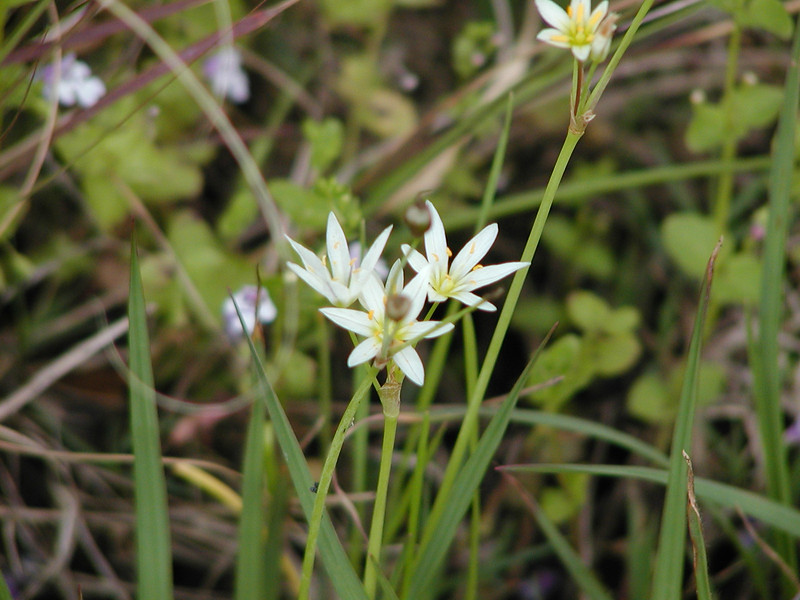 Nothoscordum bivalve - False Garlic