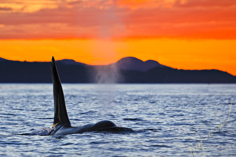 Orca Whale male in Waynton Pass during sunset, Killer Whales off Northern Vancouver Island, British Columbia, Canada, Orcas at sunset