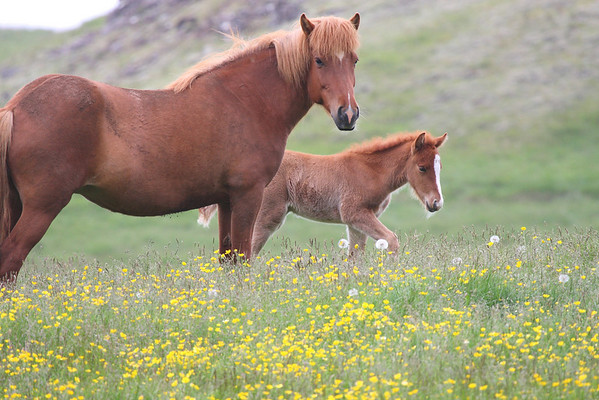 Icelandic Horse 2008 2016
