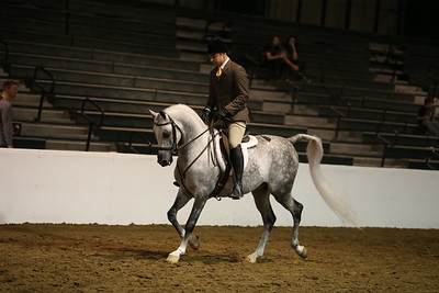 57 305 Arabian Hunter Pleasure  Junior Horse