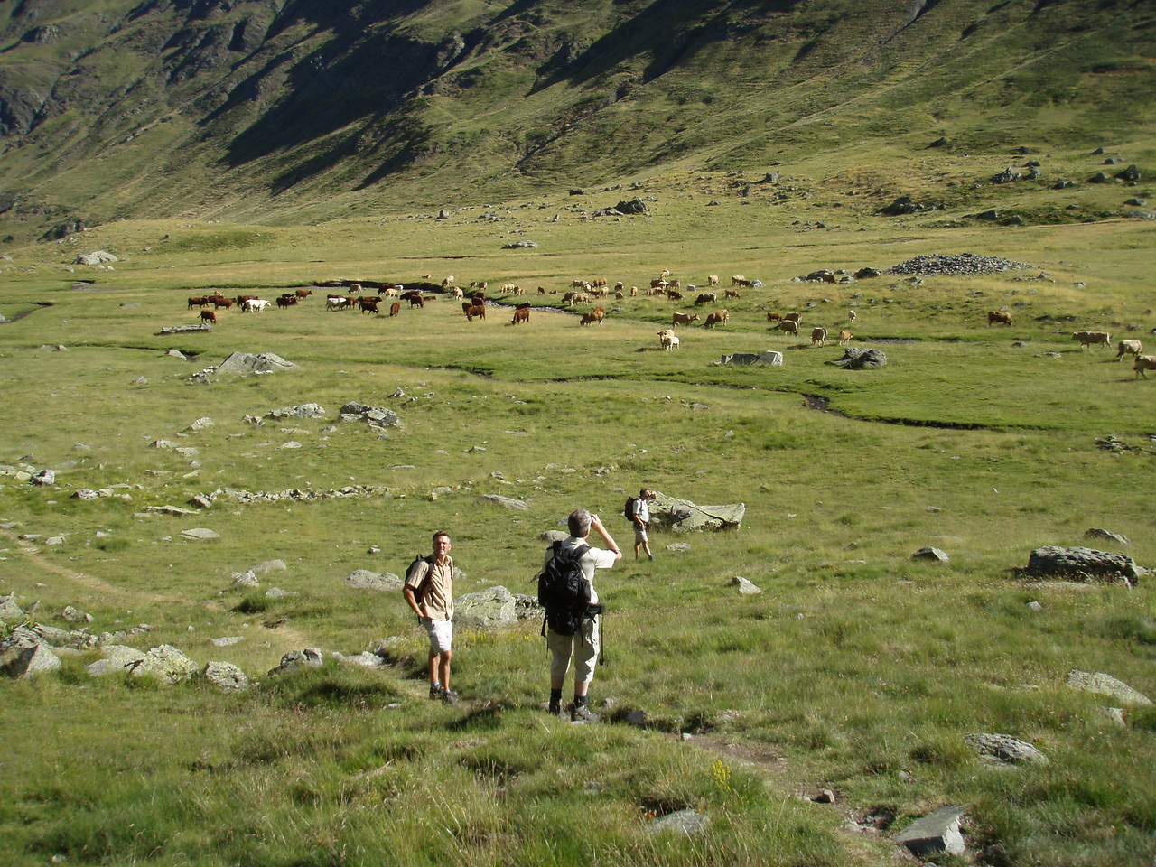 Cattle near Pico de Anayet