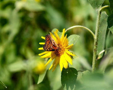 2020-08-02 Buterfly in the sunflowers