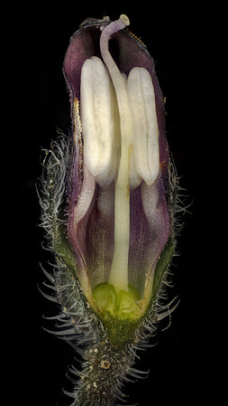 Бутон цветка окопника в разрезе