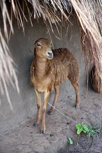 Local livestock in IDP camp. Uganda.