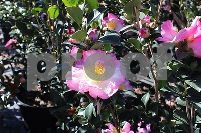 sasanqua-camellias-are-easy-to-maintain