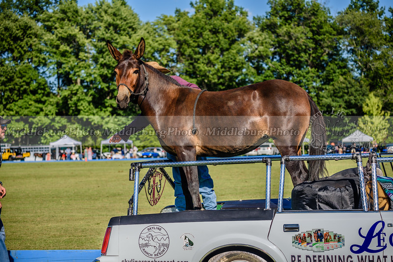 Amazing Grace the Mule