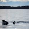 Killer Whale - BC Coast