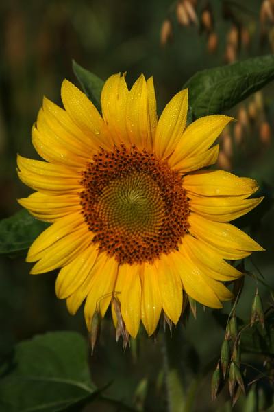 IMG_1822Sunflower.jpg