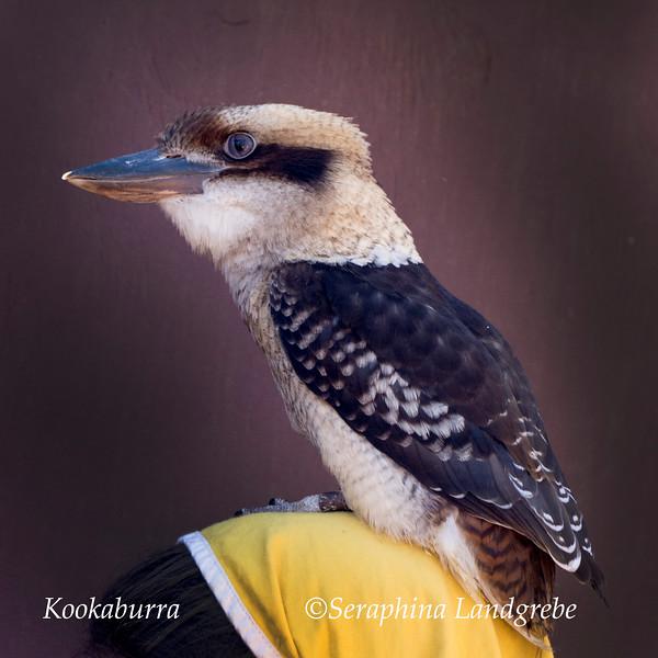 _DSC3375Kookaburra bird.jpg