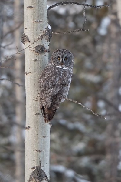 #1356 Great Gray Owl