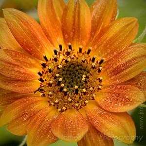 Sunflowers, Pollinators, and Predators