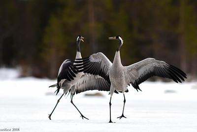 Cranes Ospreys & more