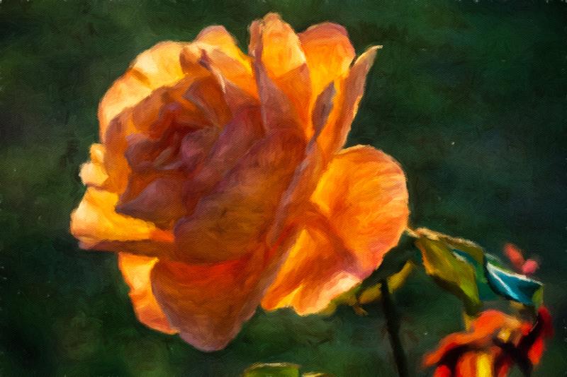 September 7 - Backlit late summer rose.jpg