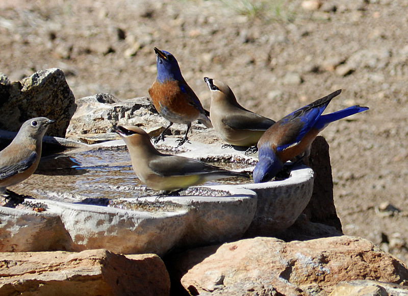 Western Bluebirds and Cedar Waxwing3.jpg