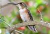 4x6 Rufous Hummingbird PSE IMG_4116