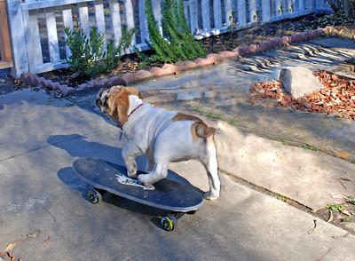 English Bulldog Margie (aka: Large Marge!)