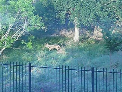 20110413 Coyote in Neighborhood