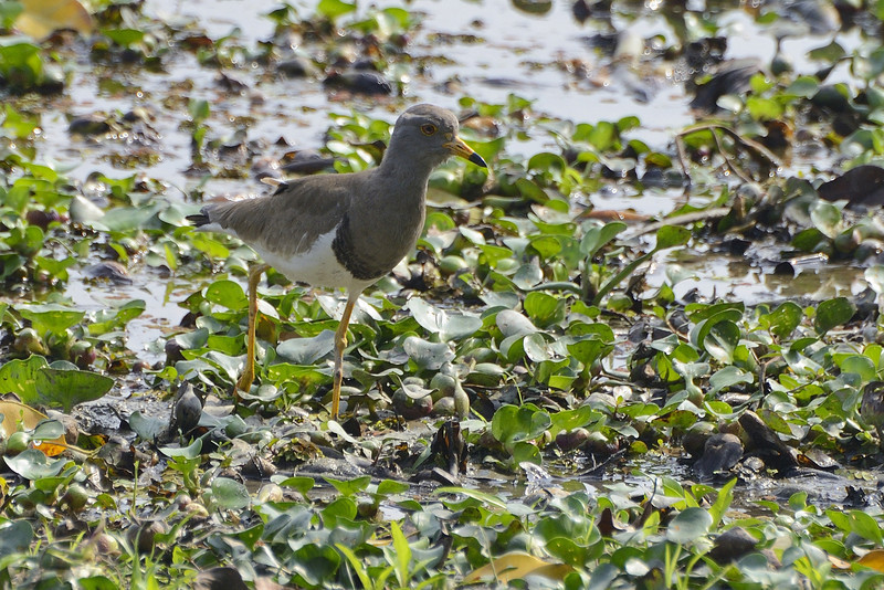 Grey-headed-lapwing.jpg
