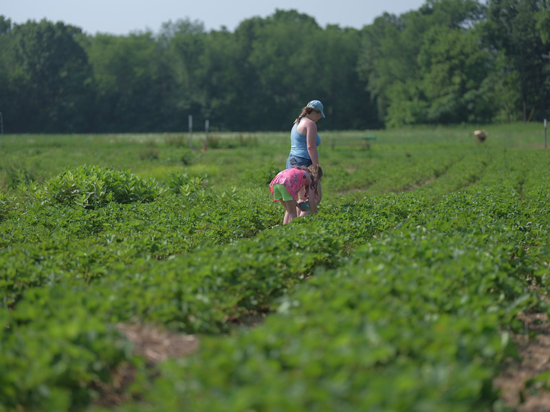 June 17, 2018 - Strawberry Picking for Fathers Day-208.jpg