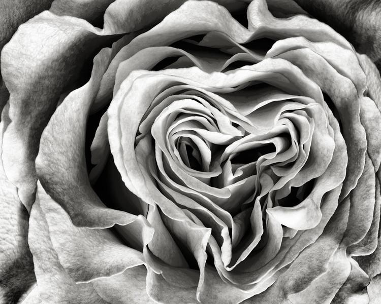 garden-rose-03-Nov-2015.jpg