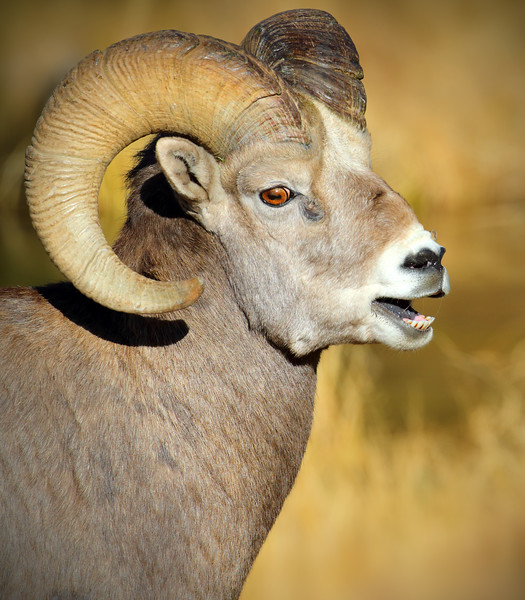 Bighorn Sheep & Mountain Goats