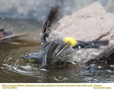 YellowRumpedWarblerAudubonM54445.jpg