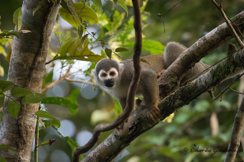 monkey amazon ecuador february 2019.jpg