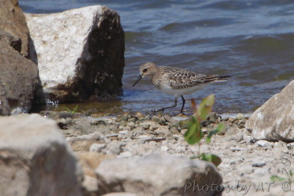 2012-09-08 Riverlands Migratory Bird Sanctuary