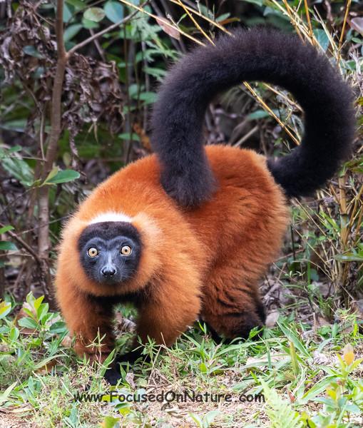 Red Ruffed Lemur (Rescued)