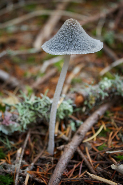 Coprinus lagopus