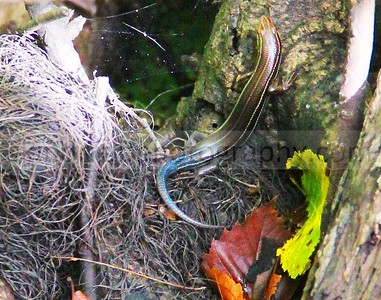 Other Amphibians
