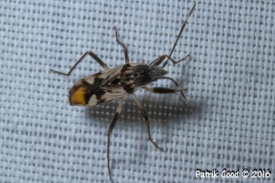 Orange Rear Seed Bug