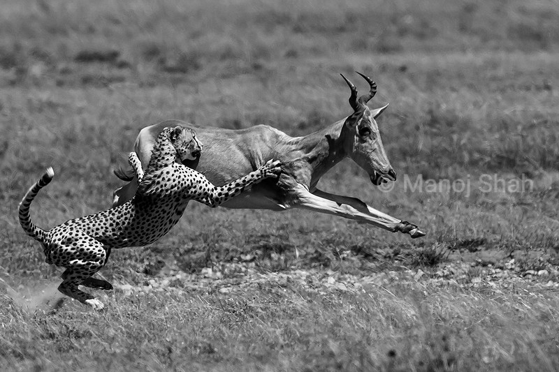 On seeing the running cheetah, the hartebeests ran like mad, The cheetah was running after them at top speed, Having caught up with the hartebeest, the cheetah uses his front paws to topple the running hartebeest in Masai Mara.But the heavier hartebeest kept on running and thus the cheetah had to give up. Hooray for the hartebeest.