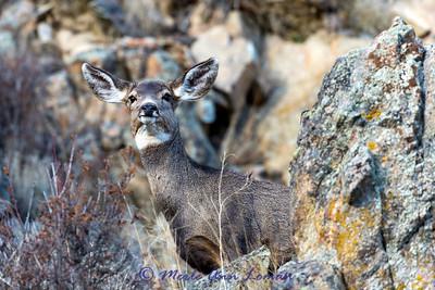 Mule Deer doe on the rocks