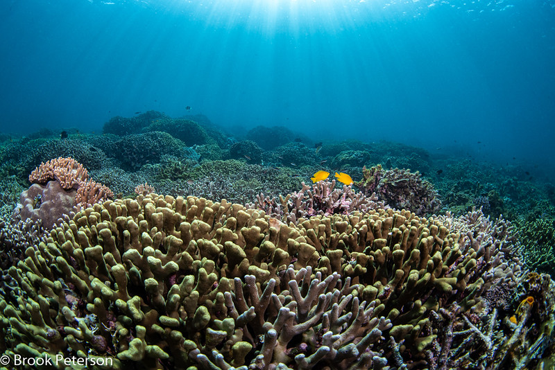 Coral Reef and two Yellow Fish